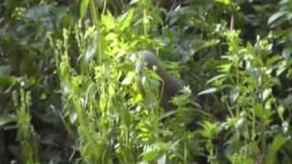carduelis chloris my garden 1