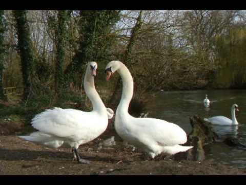 Swan Courting Ritual