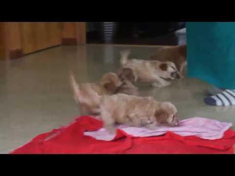 Mini Poodle Mix Puppies For Sale