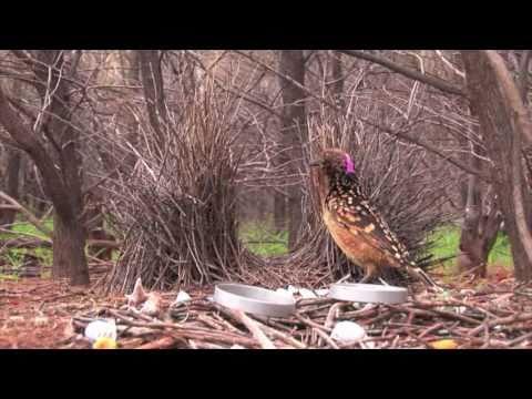 Bowerbird Dance