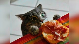 Смешные кошки и коты 2019 Новые приколы с котами и собаками, смешные коты приколы funny cats #94