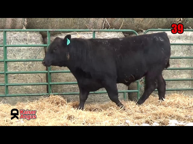 Kaiser Angus Ranch Lot 39