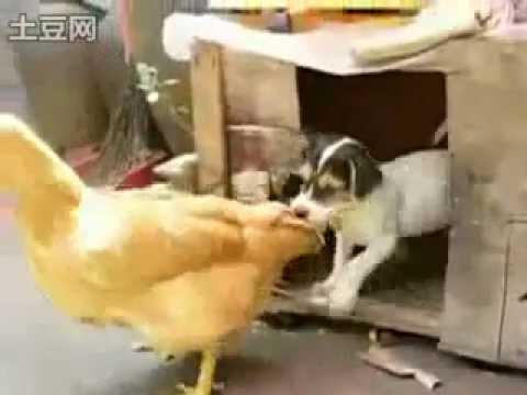 Трахают курицу видео