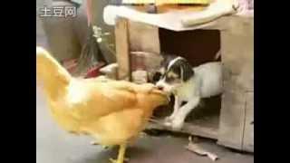 Щенок  трахает курицу! мегаприкол !