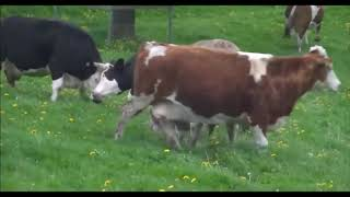Коровы впервые увидели траву после зимы