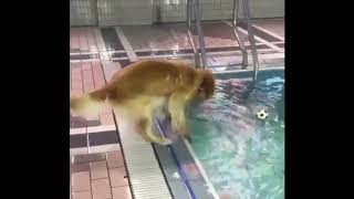 Cute Dog Falls In Pool Trying To Get The Ball - Must See