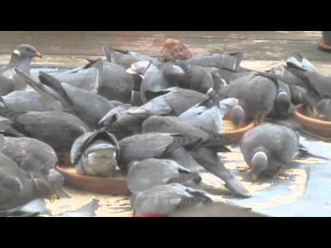 silicon valley rat race - among local pigeons