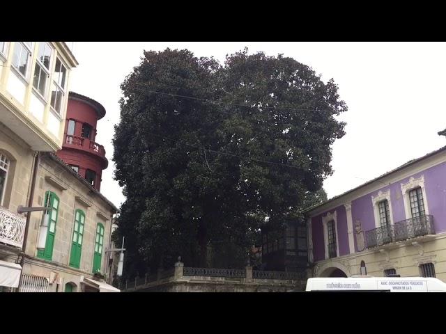 El magnolio de la plaza de Méndez Núñez, a punto de desplomarse