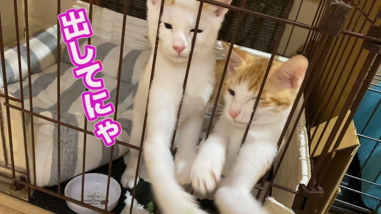 ケージ生活が長い子猫と遊んでみた【子猫】【保護猫】