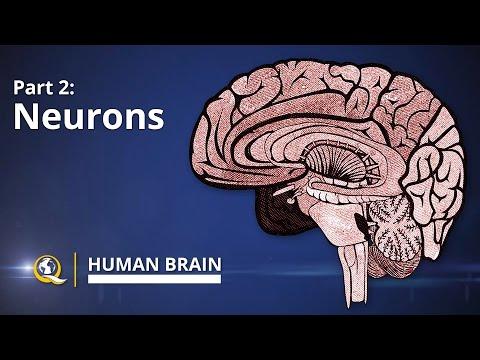 Neurons - Human Brain Series - Part 2