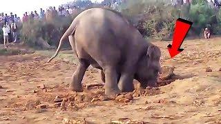 Elefante scava una buca per 11 ore!Quello che tira fuori è allucinante!!
