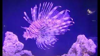 ハナミノカサゴ Red lionfish Pterois volitans すみだ水族館 Sumida Aquarium