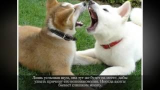 Акита ину Крупные породы собак