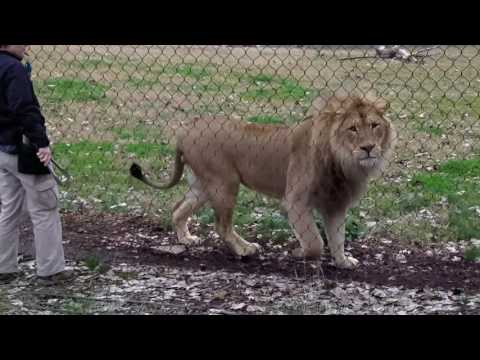 Lion Feeding and Training at Fresno Chaffee Zoo