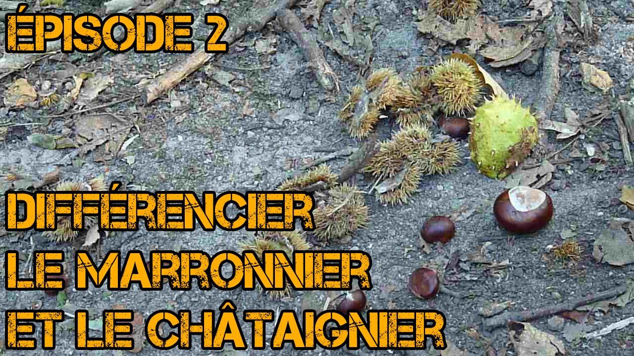 Faire Germer Un Marron D Inde différencier châtaignier et marronnier