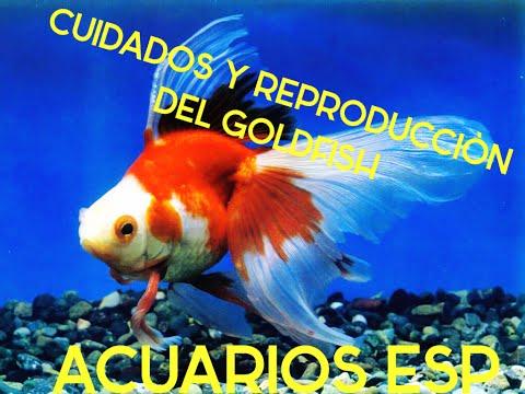 CUIDADOS Y REPRODUCCIÓN DEL PEZ GOLDFISH  HD 