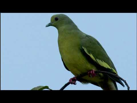 Suara burung punai 100% punai datang cocok untuk pikat,berburu