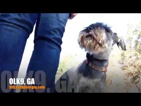 Holding Position with Distractions! | Standard Schnauzer | Dog Training Atlanta