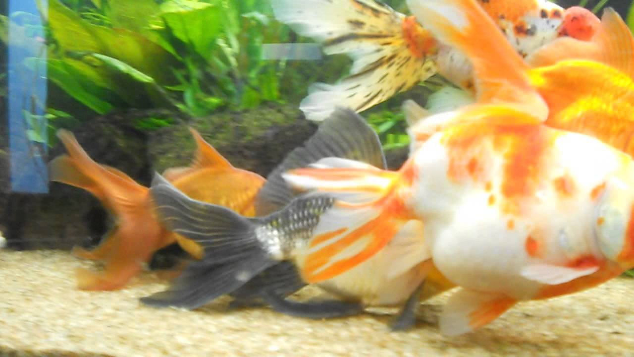 Frai voile de chine youtube for Aquarium 20 litres poisson rouge