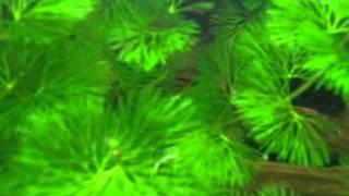 AQA.com.ua - Аквариумные растения в ассортименте