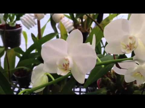 Фаленопсис, уход, выращивание, обрезка, посадка