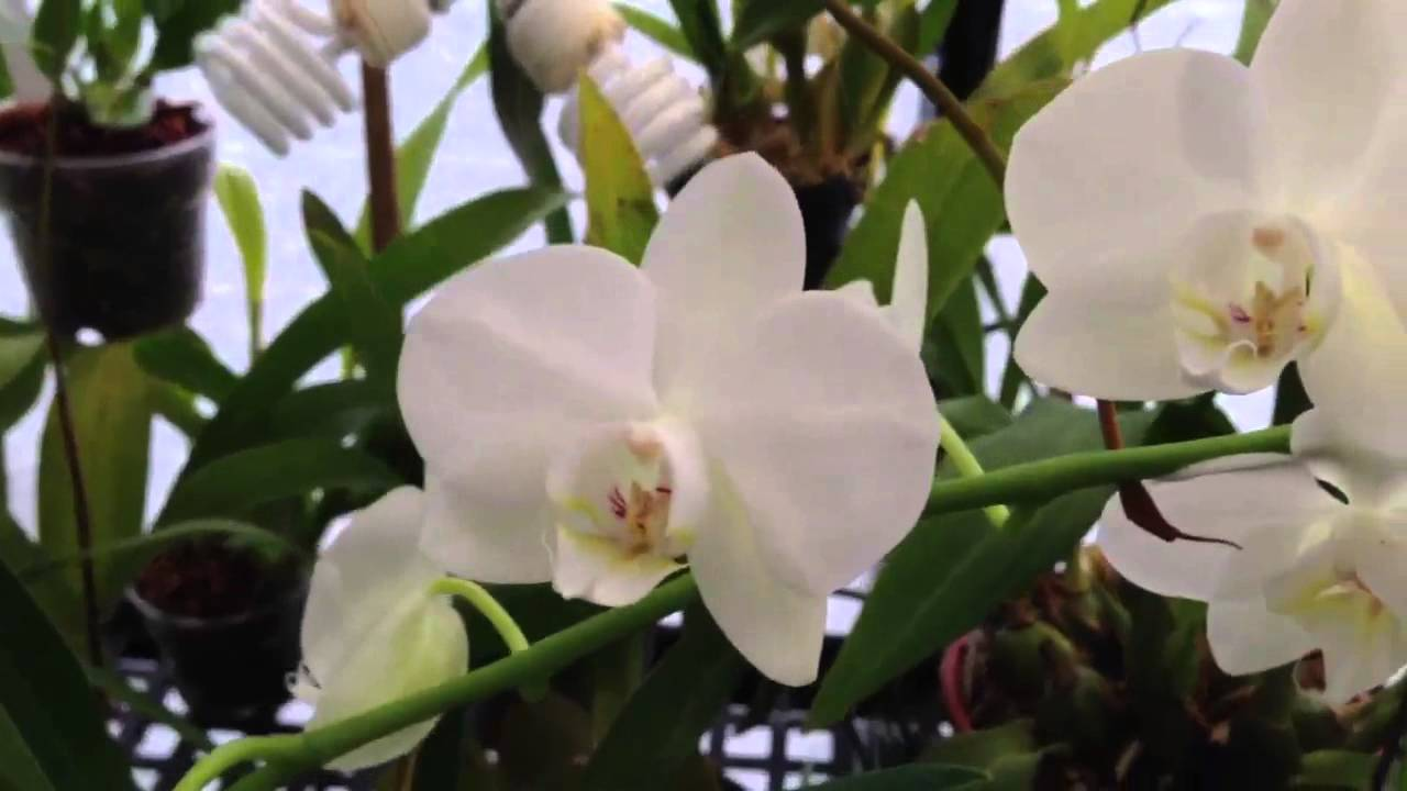 Orchid Care How To Cut Off The Old Phalaenopsis Orchid Bloom Spike