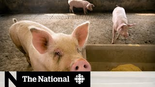 Chinese Researchers Discover New Virus In Pigs With Pandemic Potential