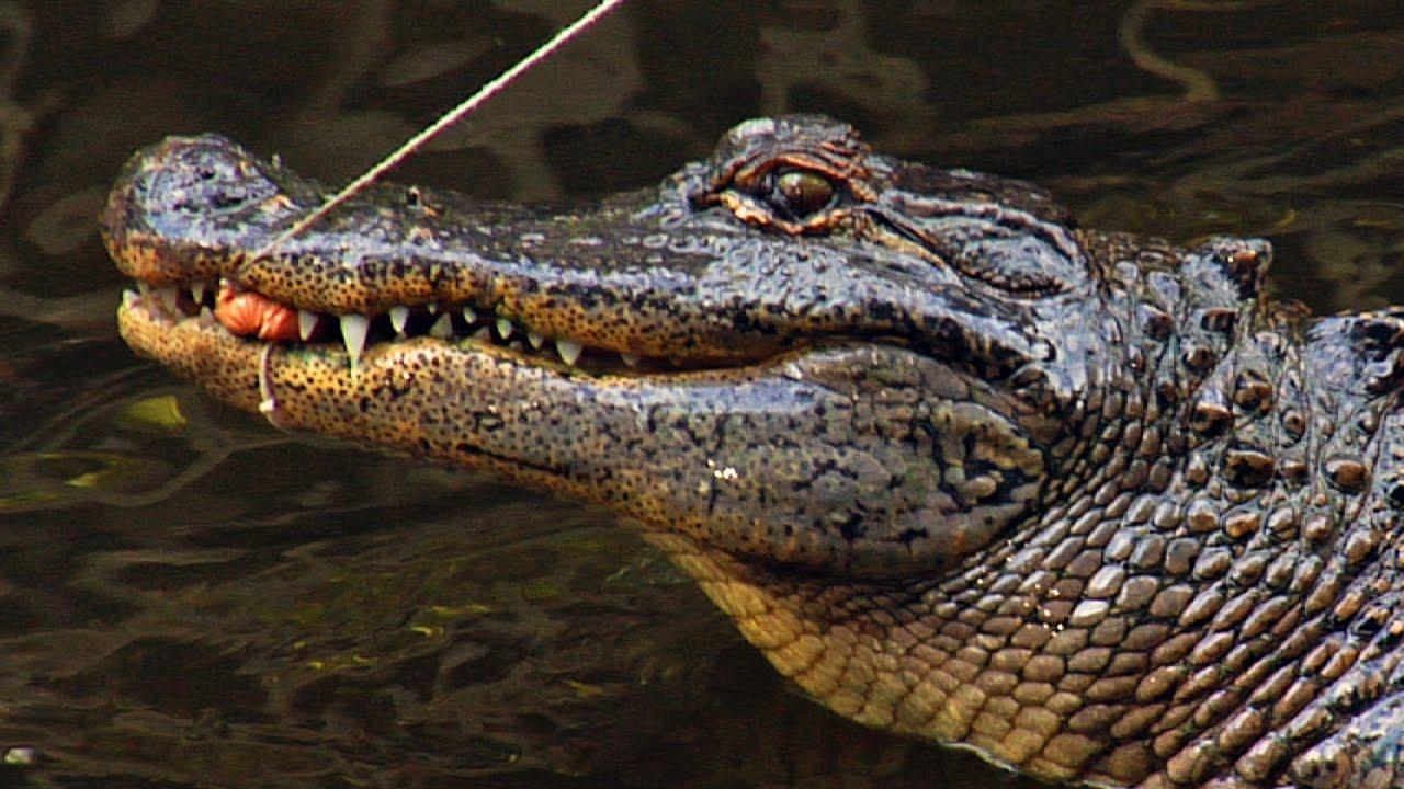 Alligator Fishing at Everglades Wonder Gardens   Bonita Springs, FL ...
