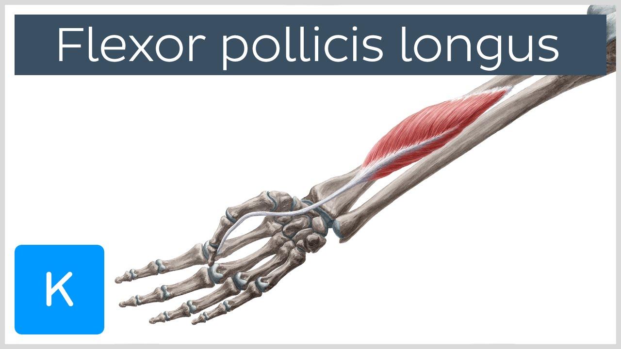 Flexor pollicis longus muscle - Origin, Insertion, Innervation ...