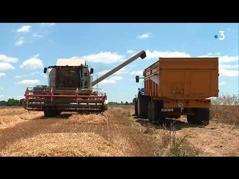 Premières moissons dans l'Allier : déjà des inquiétudes sur la qualité des céréales