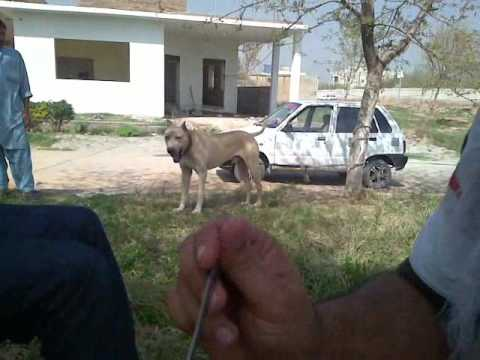 bully kutta Travel Video