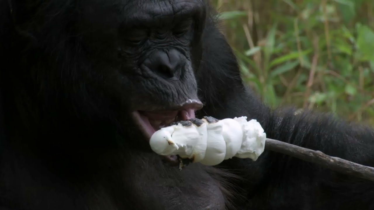 Bonobo builds a fire and toasts marshmallows - Monkey Planet: Preview - BBC One