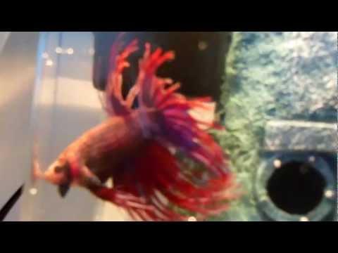 is my betta fish healthy? part 2!!