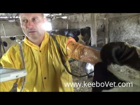Follicles Superovulation In Cow, Using KX5000V Animal Ultrasound Machine