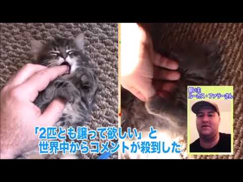 My kittens were featured on a Japanese TV Show!