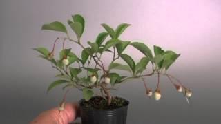 エゴノキX(売子の木盆栽)Styrax japonica bonsai