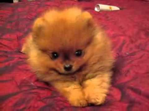 Померанский шпиц! Купить щенка шпица - Видео сообщество
