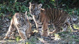 よこはま動物園ズーラシア(横浜市旭区)は11月18日、スマトラトラ...
