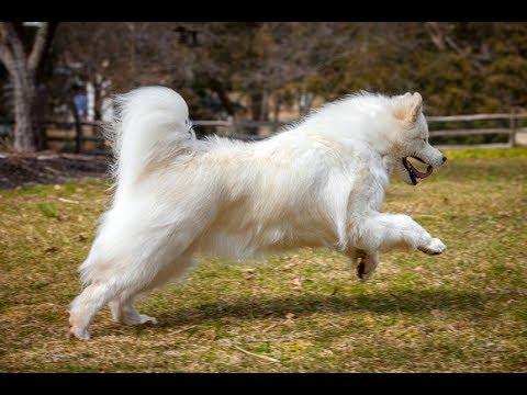 معلومات عن كلب السامويد SAMOYED DOG BREED 101 !!!