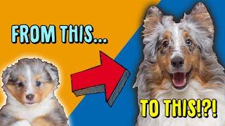 Sheltie Puppy Milo   Blue Merle Shetland Sheepdog Boops and Bamboozles  