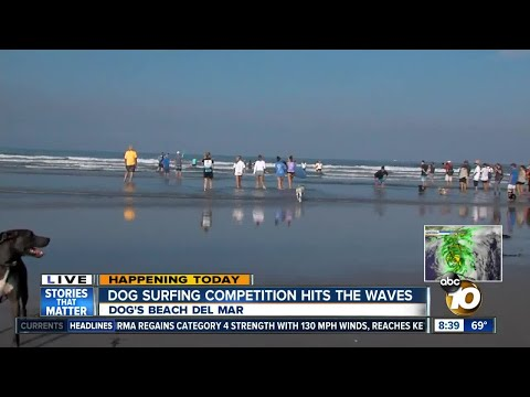 Dogs hit the beach for Surfing competition