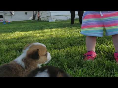 PuppyFinder.com : Corgi pups