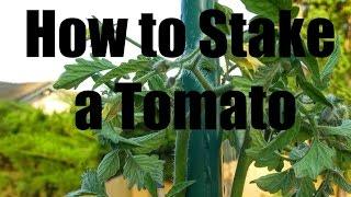 How to Stake and Prune a Tomato Plant