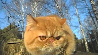 Экзотический короткошерстный кот, красный окрас