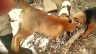 Норная охота на лису #3
