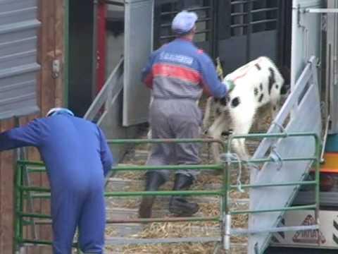 Tiertransport von Kälbern nach Italien in Kettenmast