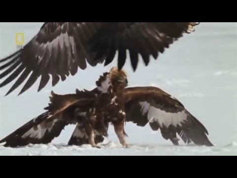National Geographic 2017 - National Geographic Wild Russia - Arctic [Animal Documentary]