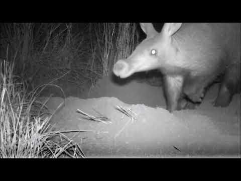 Erdvark - Aardvark