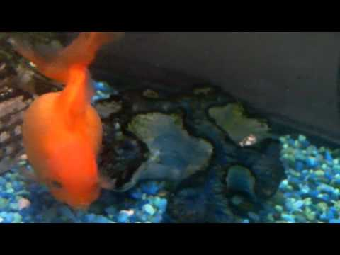 Pregnant gold fish youtube for Pregnancy and fish