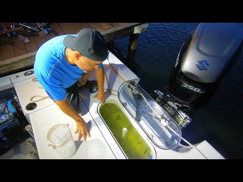 Keeping Shad In A Livewell. How To Keep Striper Bait